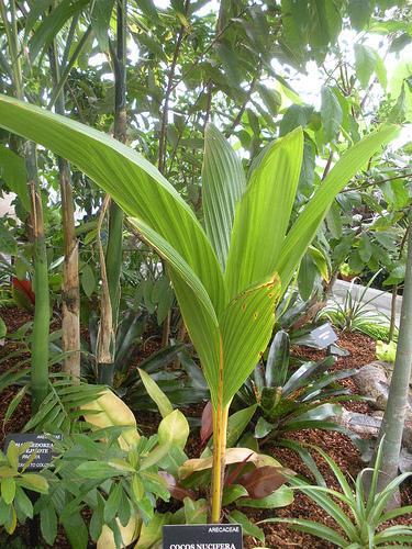 Кокосовая пальма - фото: vseopalmah.ru/palmy/kokosovaya_palma/kokosovaya_palma_foto